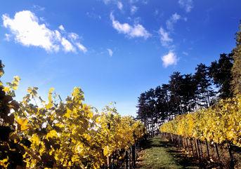 Austrian Vineyard, © AWMb/Himml